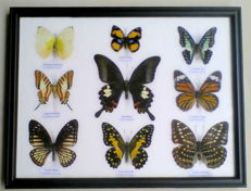 Exotic Asian Butterfly collection - 32 x 25cm