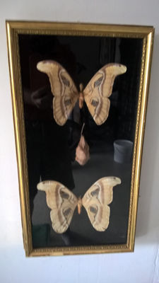 Vintage Moth Display - Atlas, male and female, with Cocoon - Attacus atlas - 54.5 x 29.5cm
