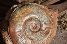 Ammonite on block - Pseudogrammoceras Pseudostruckmanni - 12 cm - 1.670 kg - with a part of its shell