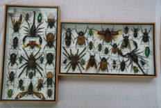 Fine pair of Insect Collectors' Display Cases - various Exotic specimens, all named - 35 x 20cm  (2)