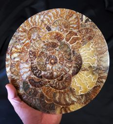 Amazing multicolor disc with ammonites - 240 x 240 x 7 mm - 900 g