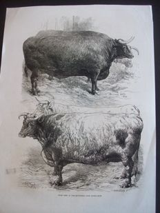 Lot of 14 antique engravings about cattle