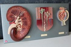 Somso/Dedex - anatomical neurological model with among others: kidney, glomerulus, and nephron.