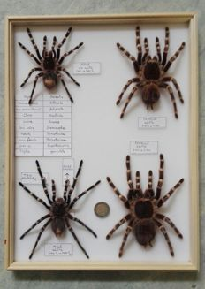 Fine Brazilian Whiteknee Tarantula, or Giant Whiteknee Tarantula - adult and sub-adult, male and female - Acanthoscurria geniculata - 40 x 30cm