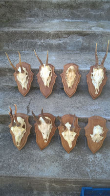 Collection of vintage French Roebuck trophies on carved wall-plaques - Capreolus capreolus - 2 to 19cm  (8)