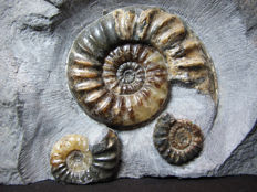 Double Asteroceras sp. ammonites and Promicroceras - 24 x 16 cm