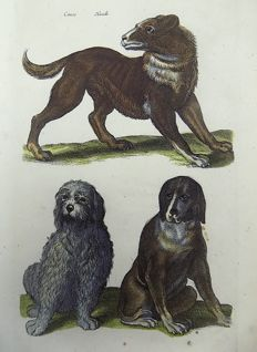 Matthäus Merian ( 1621 –1687) - hand colored copper engraving - Domestic Dogs: Hounds, Canes, Hunde - 1657