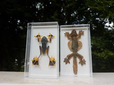 Taxidermy - Kuhl's Flying Gecko and Green Flying Frog, in plastic display boxes - Ptychozoon kuhli and Rhacophorus reinwardtii - 14 x 8cm  (2)