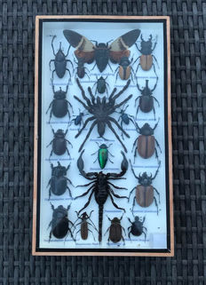 Fine Entomology Case - with Tarantula and Scorpion - various named species - 35 x 20cm