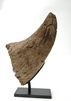 Triceratops horn - Triceratops prorsus - 270 mm