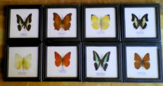 Fine Exotic Butterflies in individual display frames, all named - 12 x 12cm  (8)