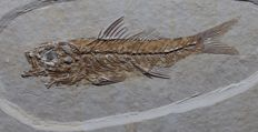 Very detailed fish - Dapalis macrurus - 8.2 cm - 14 x 9.4 cm - 0.3 kg