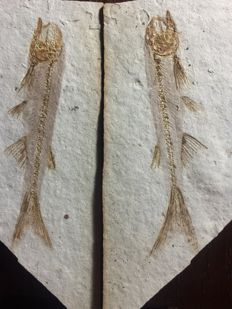 Fish fossil - Lycoptera sp. - positive and negative sides of the same fish - 10 x 6 x 1 cm
