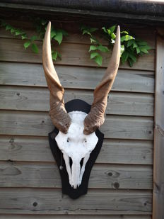 Vintage Common Eland skull on carved shield - Taurotragus oryx - 85 x 20cm