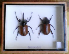 Five-horned Rhinoceros Beetles - male and female - Eupatorus gracilicornes - 20 x 15cm