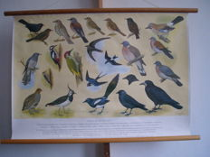 School poster / school map Birds at our House No. 1 from 1960 by H.J. Slijper with 23 beautiful birds including woodpeckers, grey partridge, see below in description