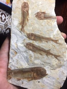 Fossil fishes on a slab - Lycoptera sp. - 16 x 10 cm