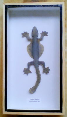Interesting taxidermy - Flying Gecko in wood display case -  Ptychozoon sp. - 23 x 12.5cm
