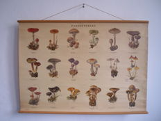 School Board/school poster Mushrooms plate no. 1 with 18 mushrooms, including amanita, lactarius and also poisonous mushrooms, with red cross next to it.