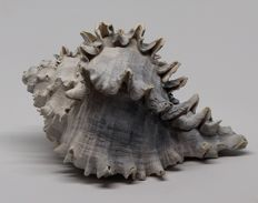 Large fossil shell - Hexaplex hertweckorum - 12.7 cm - 0,180 kg - Top quality