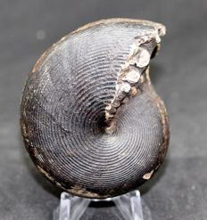Stunning fossil ammonite from the Triassic Paracladiscites beirichi - 7.2 cm - two prepared sides - amazing stitches