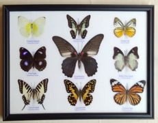 Colourful Exotic Butterfly display - 32 x 25cm
