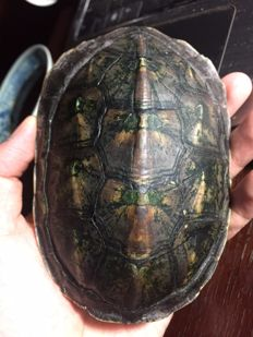 Chinese Pond Turtle, full carapace - Mauremys reevesii - 13 x 9 x 5cm