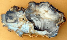 Slab of petrified wood - 440 x 40 mm - 7.6 kg
