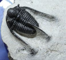 Beautiful trilobite fossil Cyphaspis boutscharafinense - 2.9 cm without the points - large size for the species