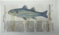 Conrad Gesner (1516 - 1565); folio woodcut leaf with 4 woodcuts - Sea Fish: Mackerel, Mullet - 1669