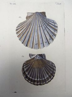 Thomas Pennant (1726-1798) - Lesser Bivalve Shells - hand colored copper engraving - 1768