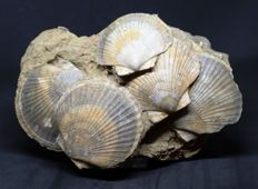 Large block 25 cm - Association of scallops fossil - Flabellipecten flabelliformis - 25 x 16 cm - 2.02 kg