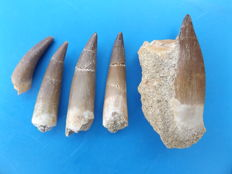 Teeth of Plesiosaurus Mauritanicus - 51 mm to 33 mm (5 pieces)
