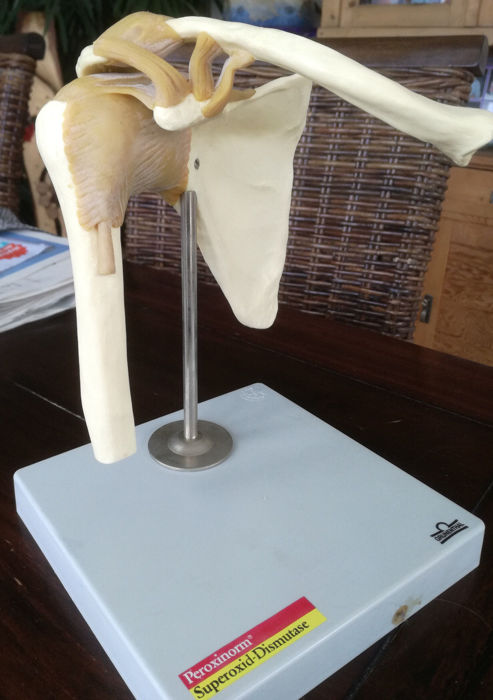 Teaching model, shoulder joint with ligaments and stand. approx. 40 years old.