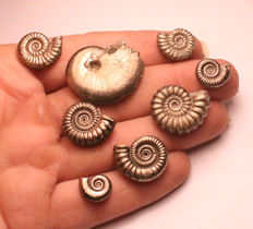 Group of 8 iron pyrite ammonite fossils - mixed species - 11 – 26 mm
