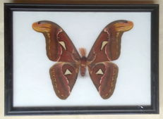 Single Atlas Moth, male, in a wood display frame - the world's largest Moth - Attacus atlas - 27.5 x 20cm