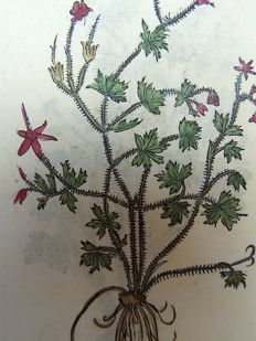 Leonhart Fuchs (1501 – 1566) - 2 x botanical woodcut prints on one leaf: Botany: Geranium - 1549