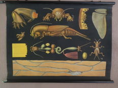 Beautiful very old Anatomical Zoological school poster of the Nature cricket (Gryllotalpa vulgaris)