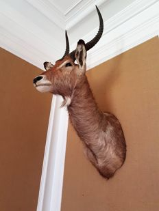 Fine quality taxidermy - Waterbuck shoulder-mount - Kobus ellipsiprymnus - 130 x 33cm