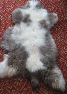 Fine and unusual natural Jacob Sheep skin - Ovis aries - 115 x 85cm