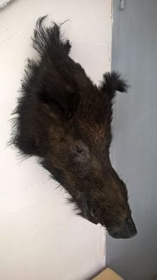 Large vintage French Wild Boar head  - Sus scrofa - 60 x 39 x 27cm