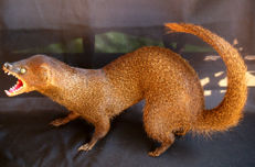 Taxidermy - Small Asian Mongoose - Herpestes javanicus - 40cm