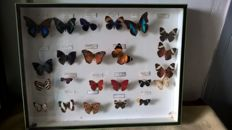 Interesting and varied Butterfly Display, by Deyrolle, Paris - 50 x 39 cm