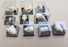 Collection of various skulls in acrylic cases -  Mammal, Reptile and Avian - 4 x 3cm and 2.5 x 2.5cm  (10)