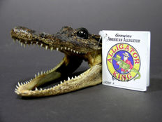 Taxidermy - skin-on Alligator head - Alligator mississippiensis - 120mm - 100gm