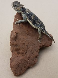 Finest taxidermy - Desert Horned Lizard, on naturalistic base - Phrynosoma platyrhinos - 11 x 13cm