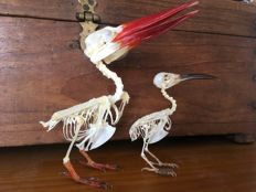 White-throated Kingfisher and Spiderhunter articulated skeletons - Halcyon smyrnensis - Arachnothera sp. - 13 and 9cm  (2)