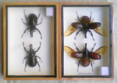 Brown Rhinoceros Beetles - adult male and female pairs with wings open, and closed - 17.5 x 12.5cm  (2)