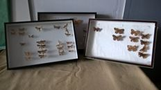 Vintage Moth and Butterfly collection - various species - 39 x 26cm (3)