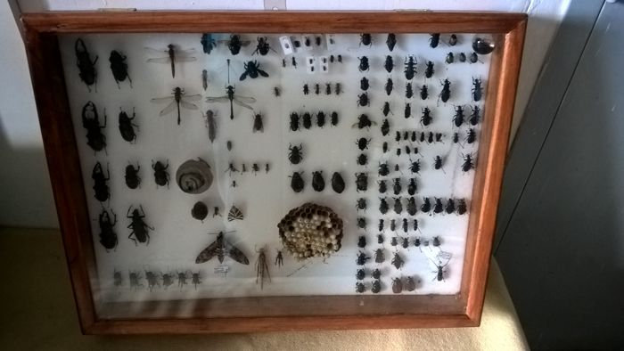 Fascinating vintage Entomology collection - Moths, Butterflies, Wasps, Crickets - 57 x 43cm